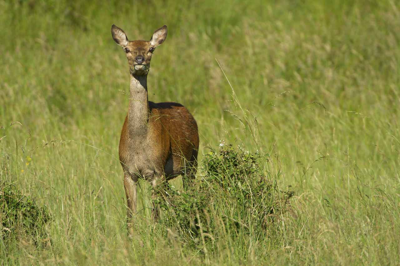 Wildlife photo project on deer with velvet antlers in Charente-Maritime in France in July 2017.