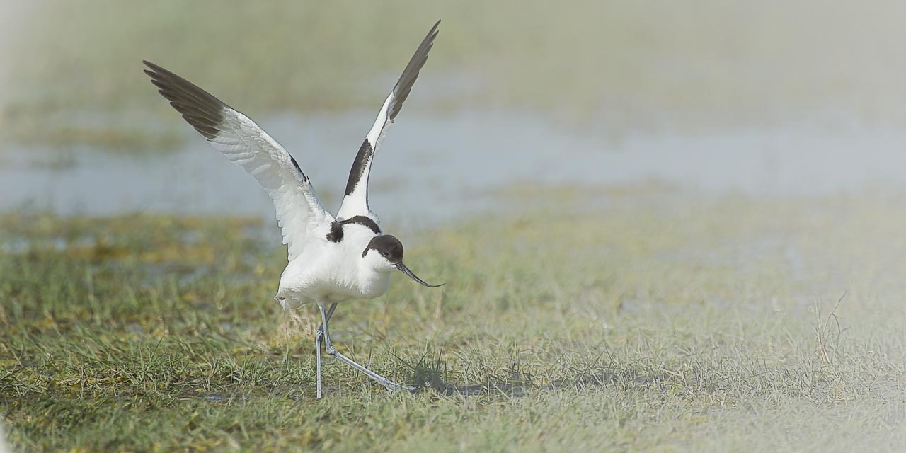 Wildlife photo project in Danube Delta in May 2018: pied avocet.