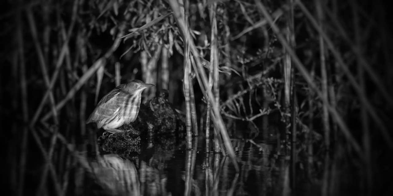 Wildlife photo project in Danube Delta in May 2018: little bittern.