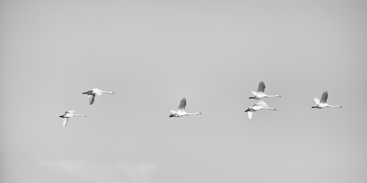 Wildlife photo project in Danube Delta in May 2018: flight of mute swan.
