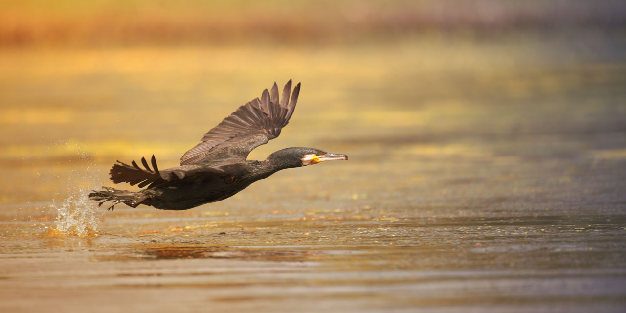Wildlife photo project in Danube Delta in May 2018: great cormoran taking off.