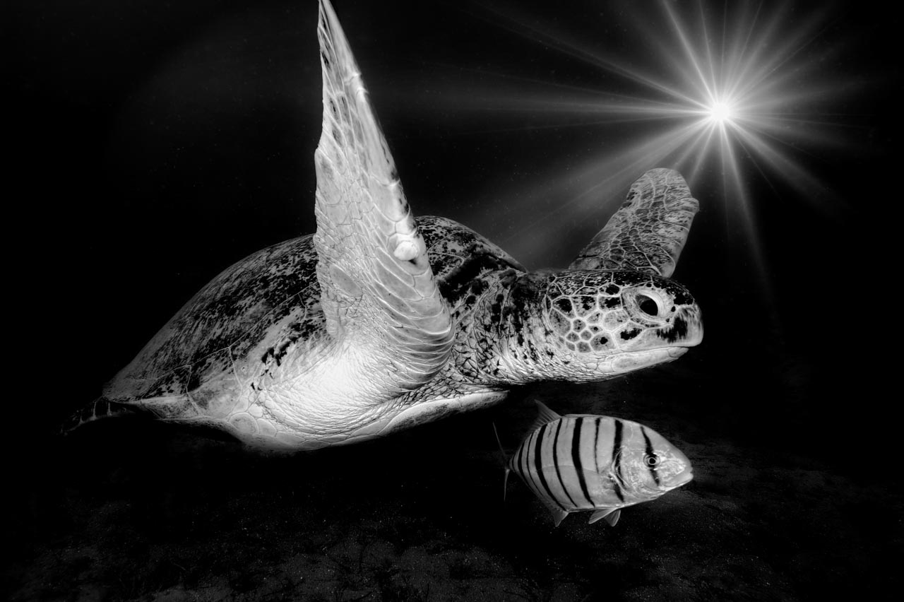 Underwater turtle swimming in the Red Sea. Black and White photograph by Amar Guillen, Photographer artist.