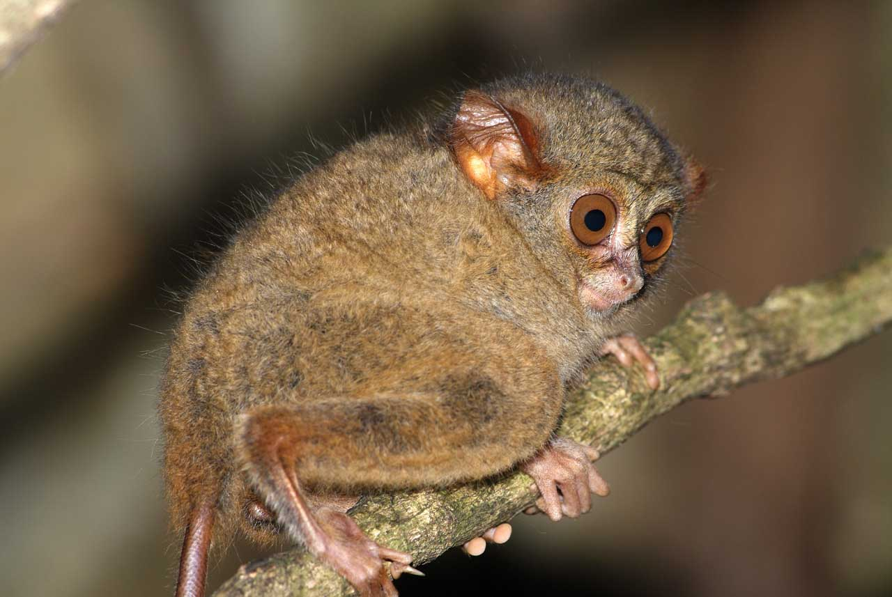 A spectral tarsier in a forest of North Sulawesi, Indonesia.
