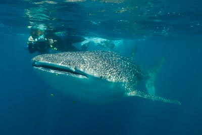 Whale Sharks of the Gulf of Tadjourah in Djibouti. Photographs by Isabelle and Amar Guillen.