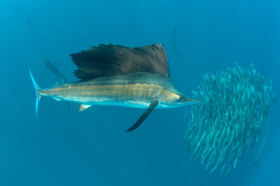 The sail fish sardine run in Mexico. Photographs by Isabelle and Amar Guillen.