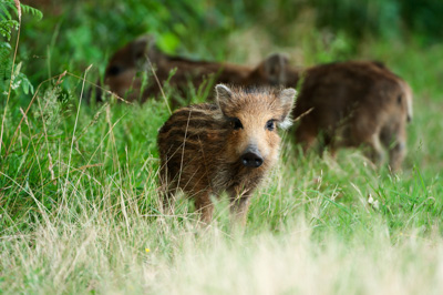 Wild hogs of the forests of Charente-Maritime in France. Photographs by Isabelle and Amar Guillen.