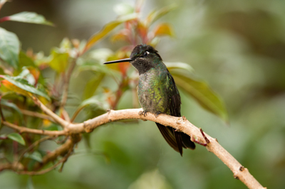 Mountain birds of Costa Rica. Photographs by Amar and Isabelle Guillen.