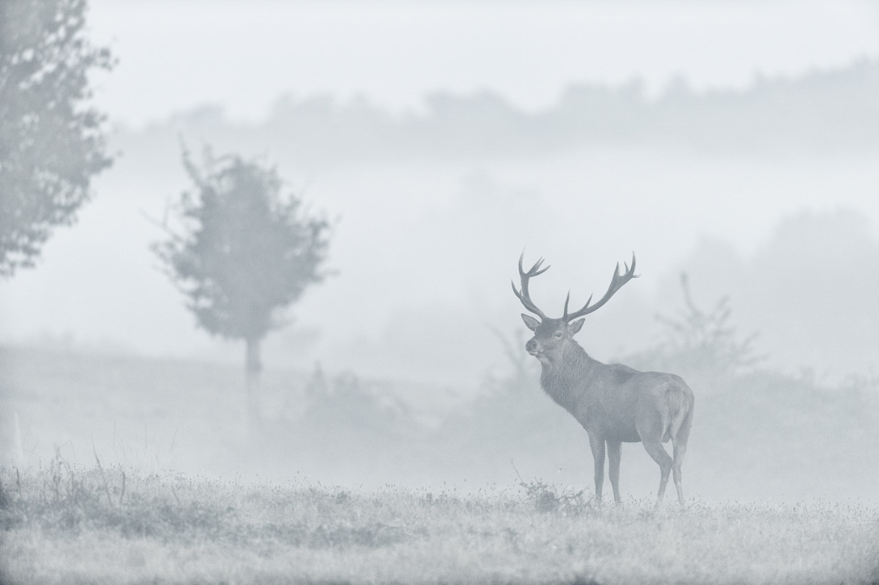 A red deer photographed in the mist from a natural blind in a forest.