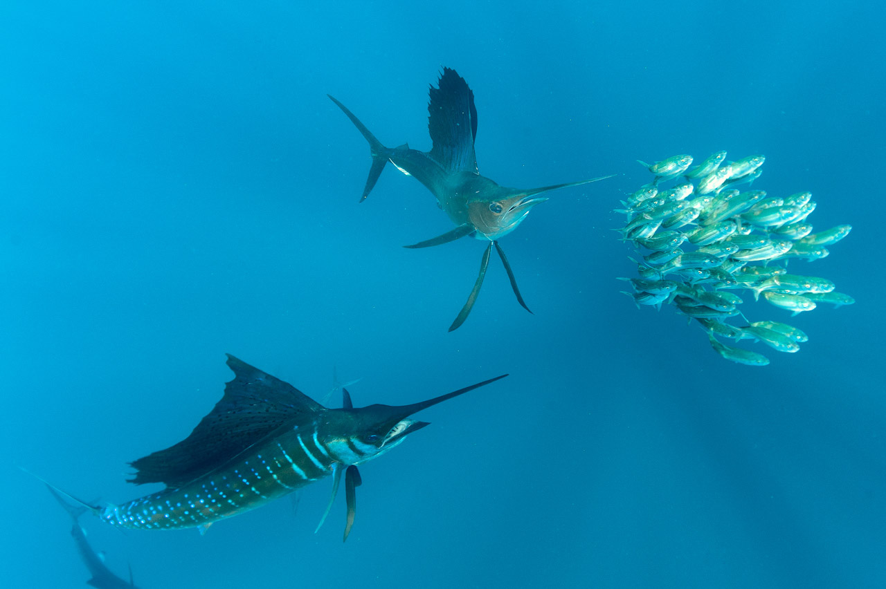 This photo of sailfish hunting sardines has received several awards in competitions