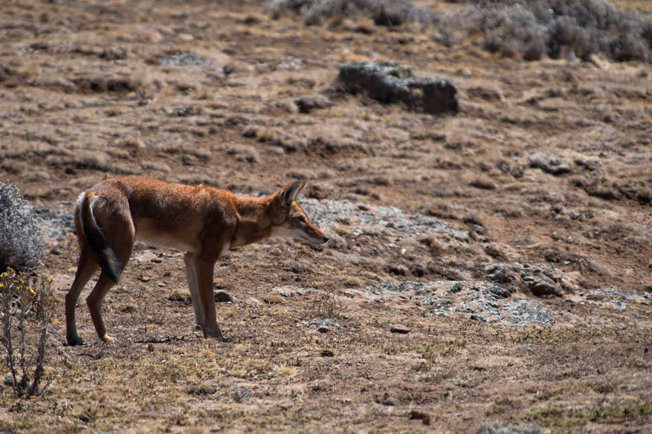 The Ethiopian wolf photographed here on the plateau of Bale is a dream for wildlife photographers.