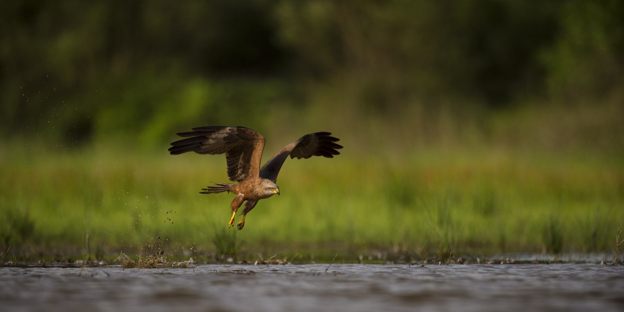 A black kite photographed from a floating blind.