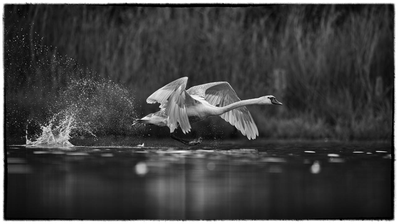 A swan on takeoff photographed from a floating blind.