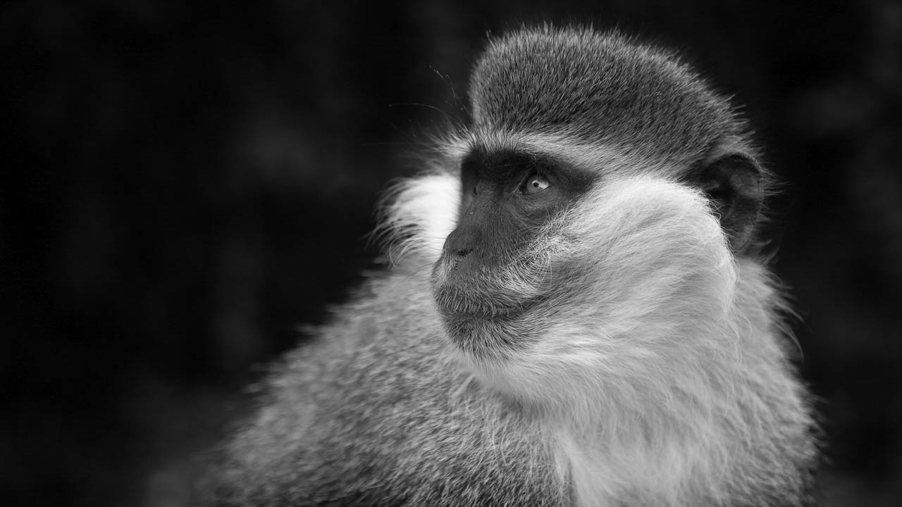 For this collection of art pictures devoted to monkeys, we worked for 3 years in remote areas.