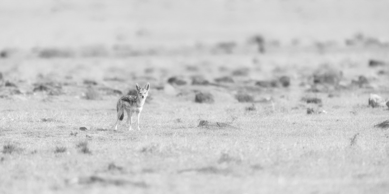 Photograph in high key and black and white of a jackal.