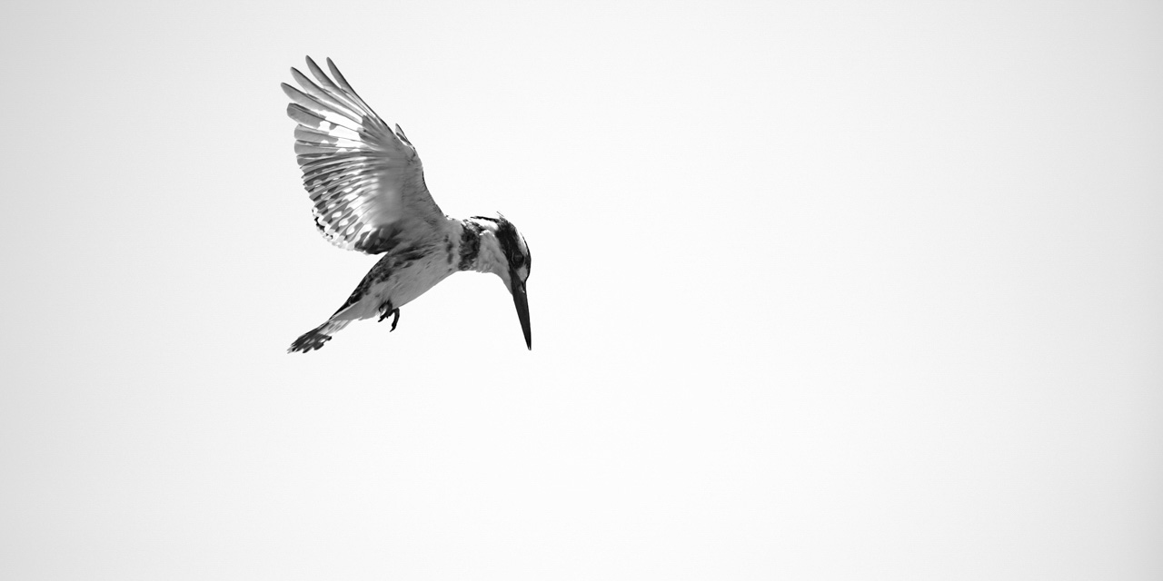 Photograph in high key and black and white of a pied kingfisher flying.