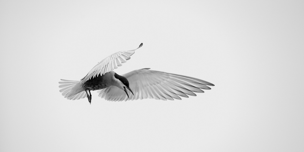 Photograph in high key and black and white of a whiskered tern flying.