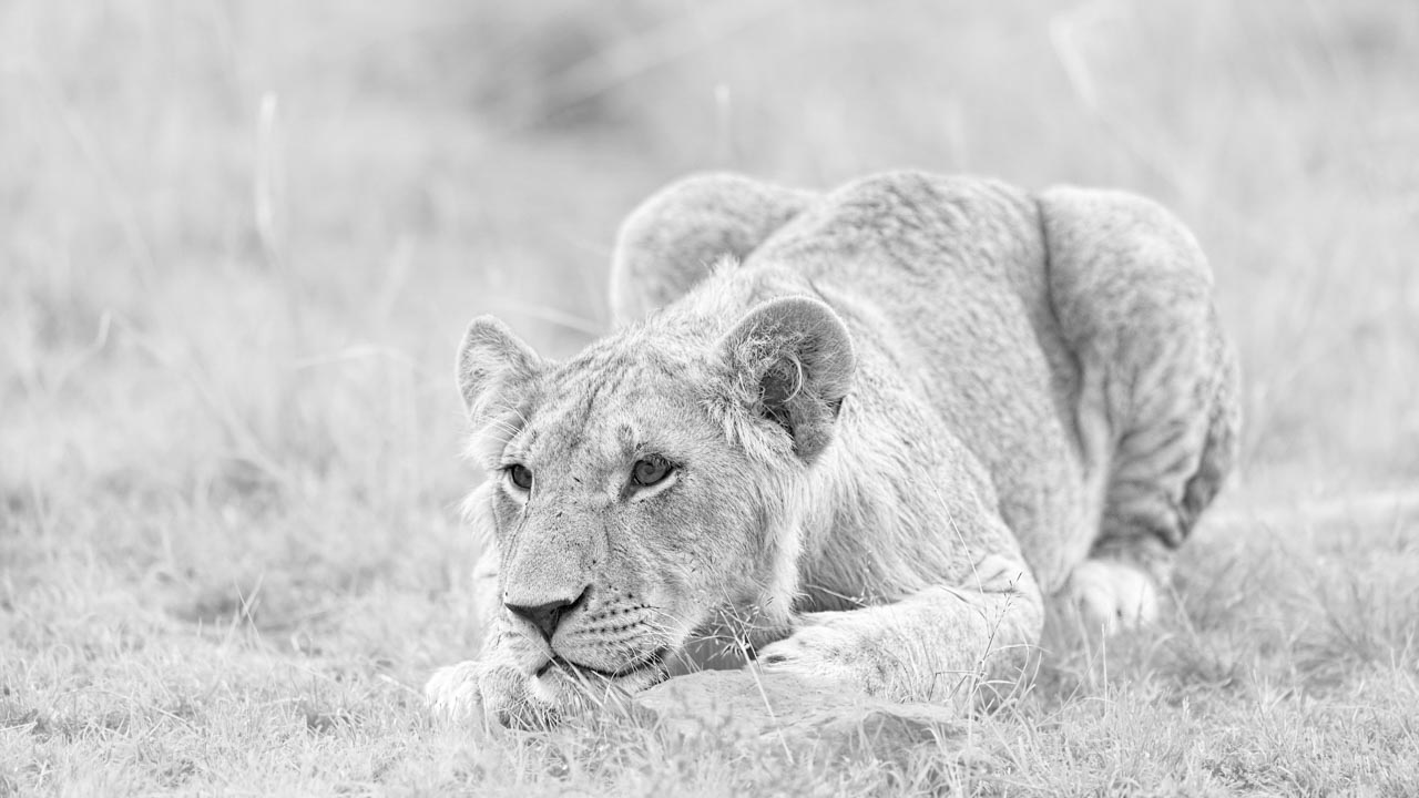 High key and black and white photograph of a lion cub in kenya