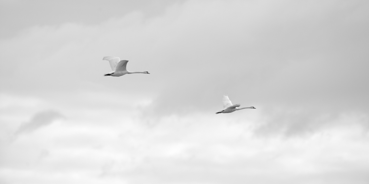 High key and black and white photograph of mute swans in flight.