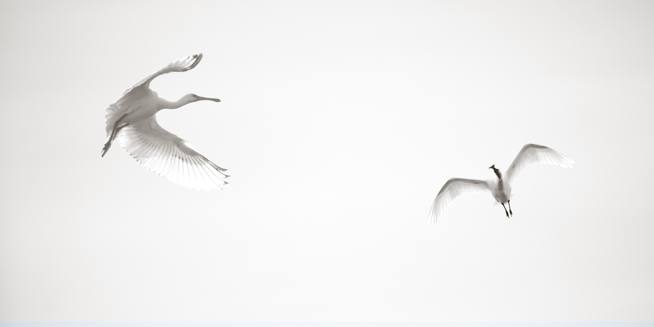High key and black and white photograph of two white spoonbills in Dombes.