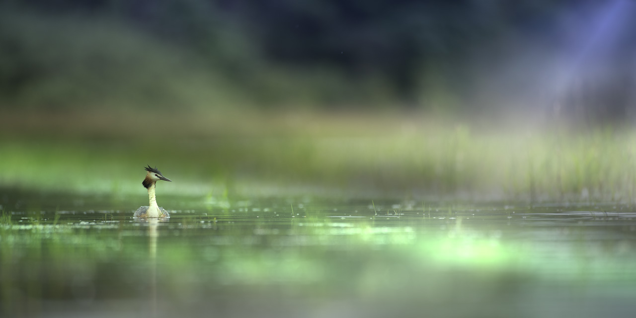 Art Photograph of a Great Crested Grebe in la Dombes. Photograph Taken from a Floating Blind.