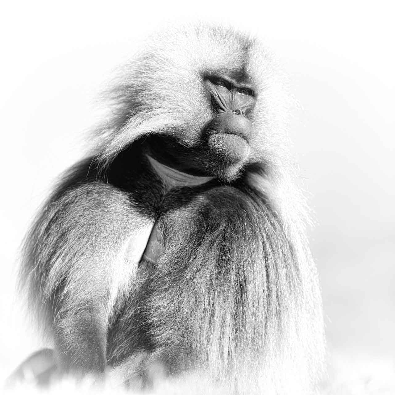 Artistic Photograph of a Male Gelada in the Highlands of Ethiopia.