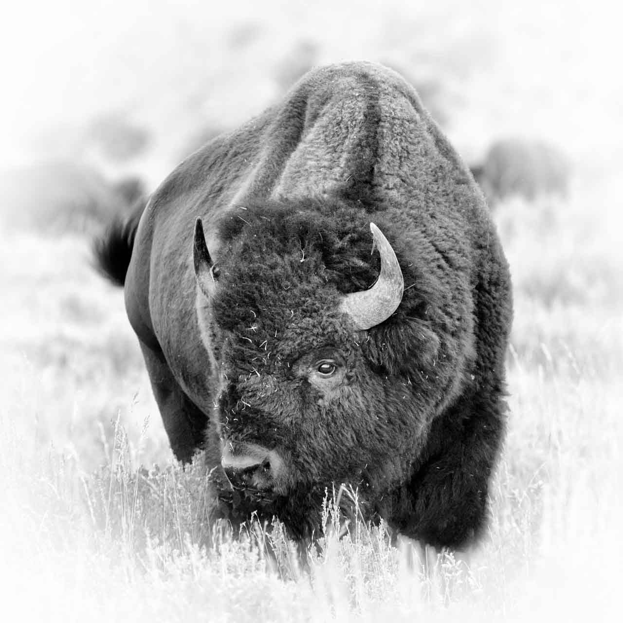 CThis artistic photograph of a buffalo is subjective because the choice of the attitude, the composition, the framing.