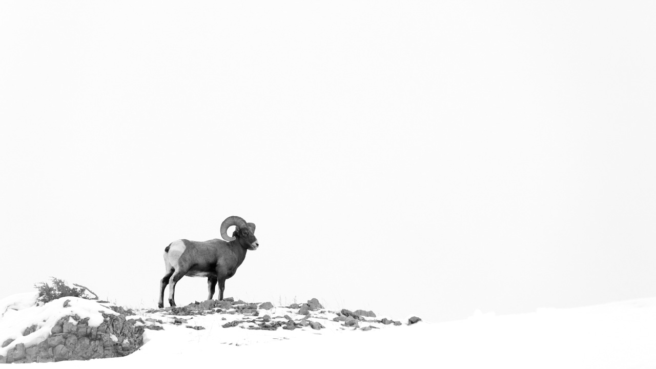 Photograph of a bighorn sheep in the snow in North of United States.