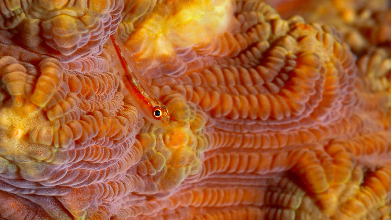 Underwater photography requires great mastery to use the photographic language (goby on a hard coral).