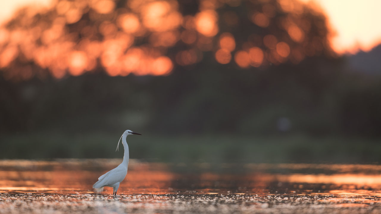 This photograph of a Little Egret presents several mass imbalances.