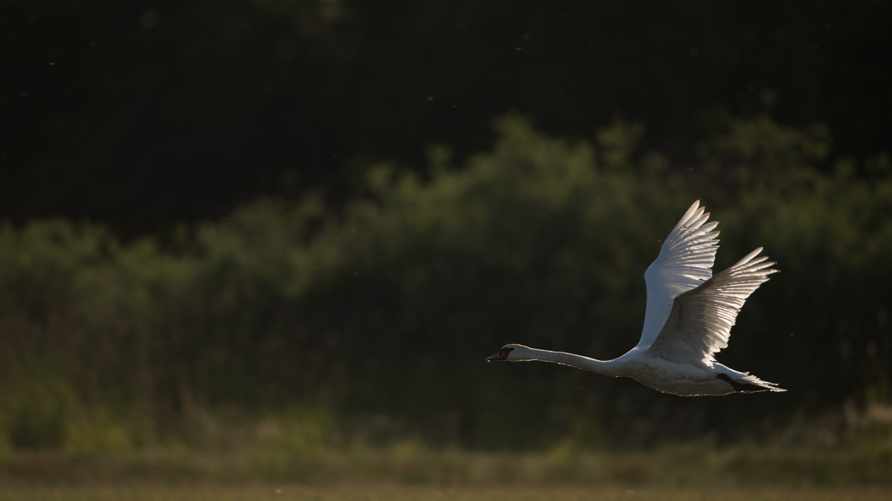 This photograph of a swan taking-off shows a mass imbalance with the dark area at the top.