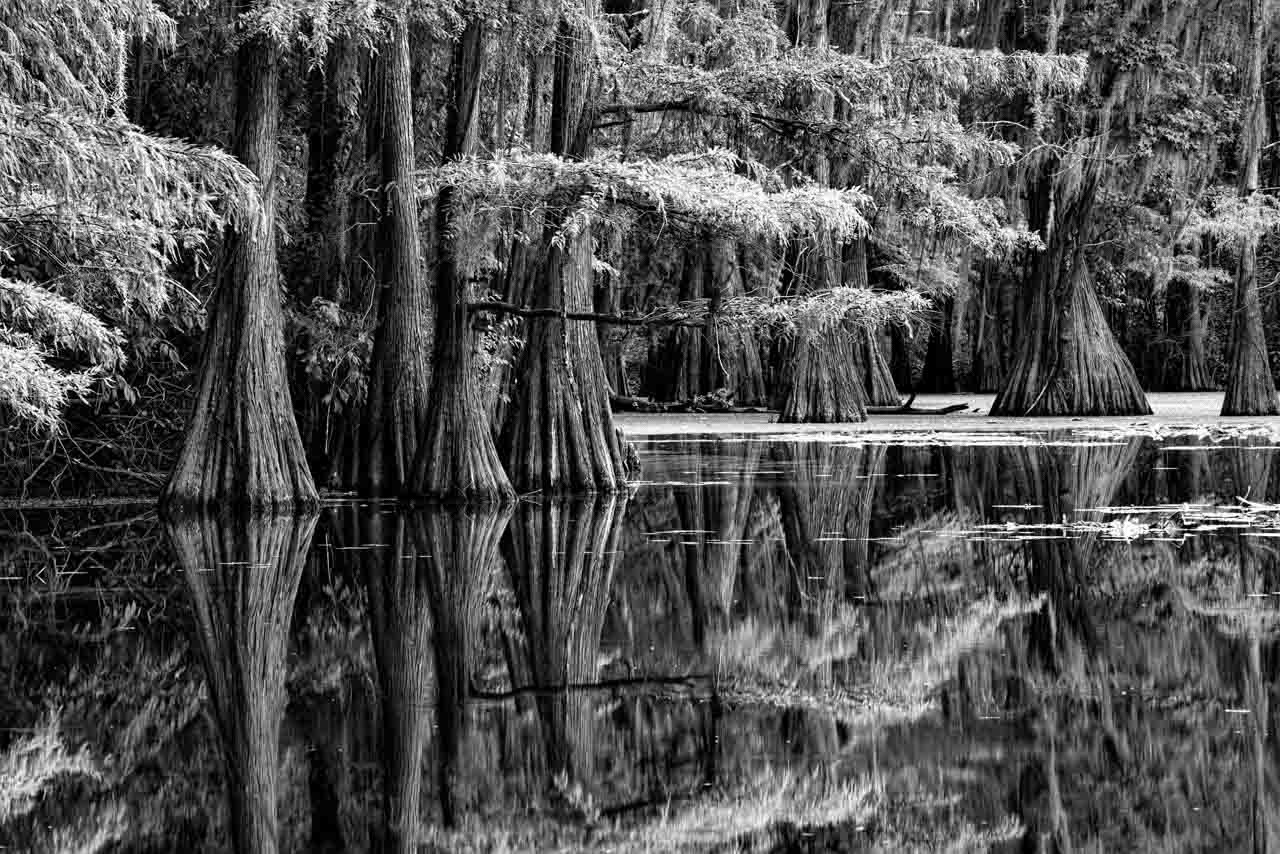 Photograph in black and white of Caddo Lake in Texas.