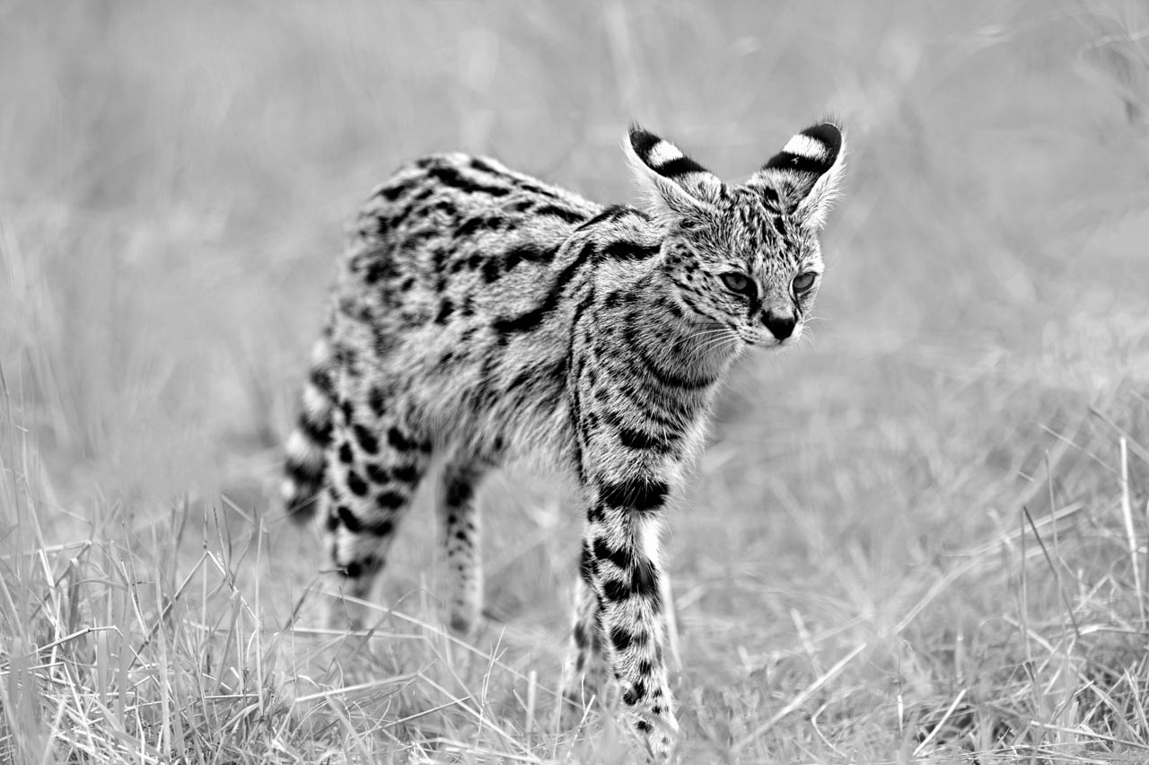 Photograph in black and white of a serval in Kenya.