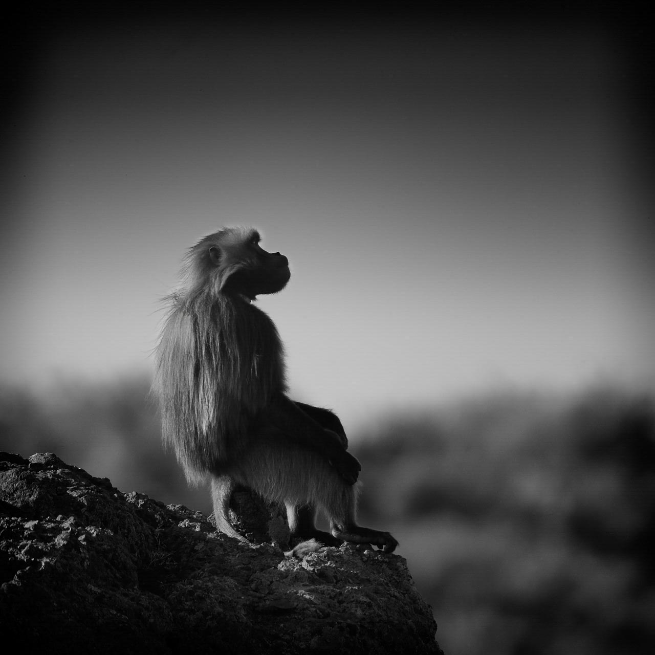 This photograph of a gelada sitting on a rock is an example of photography with a well-managed tonality.