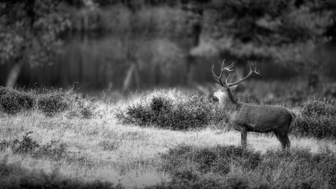 The direction in which the red deer stag looks in this black and white photo is a strong guideline.