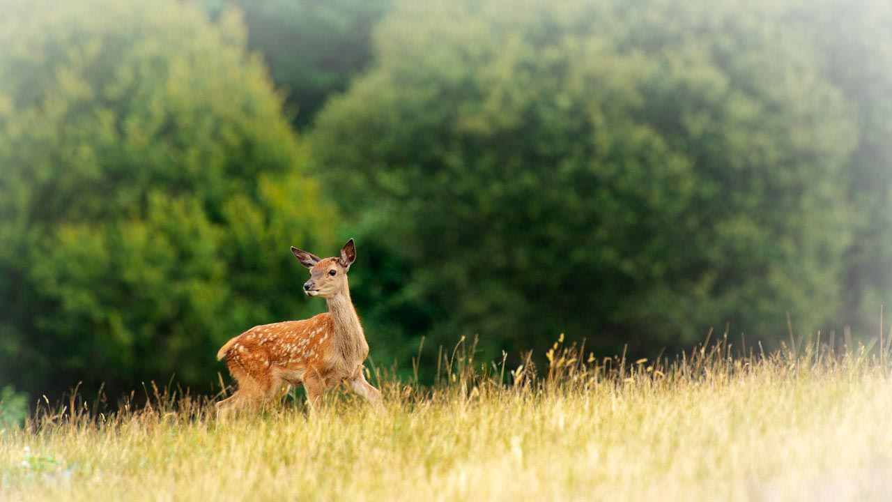Photograph of a red deer fawn in a meadow.