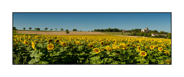 Champ de tournesols en Haute-Saintonge