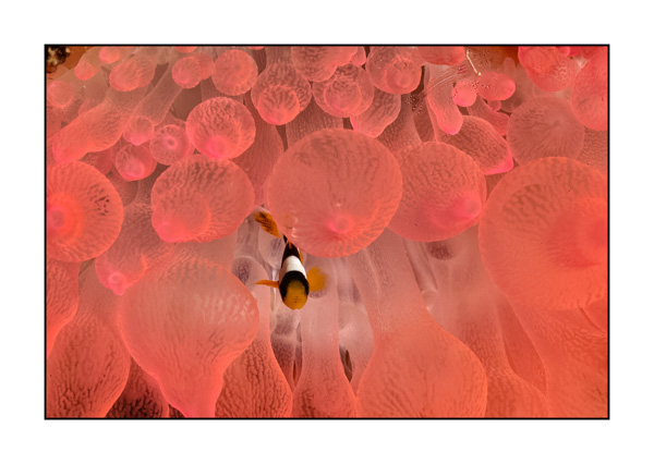Clown fish in a pink anemone