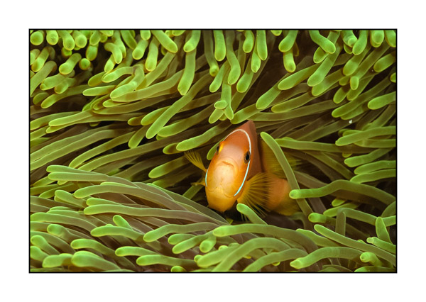 Clown fish in a green anemone