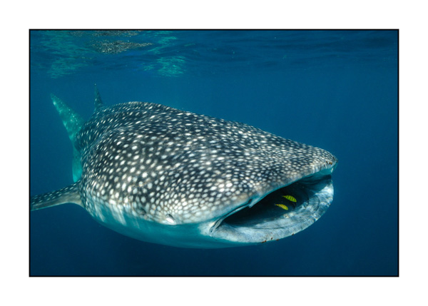 Whale shark and his escort