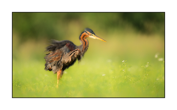 Purple Heron I
