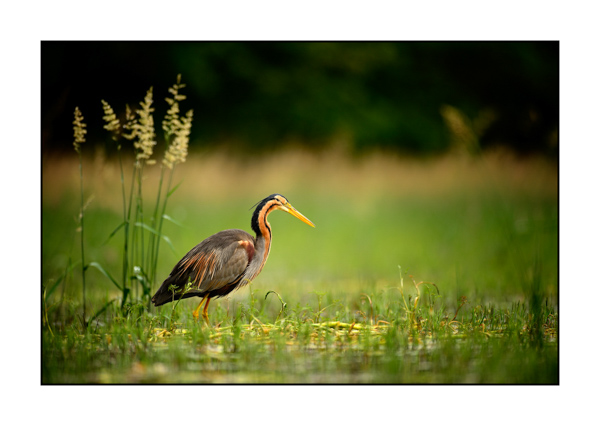 Purple Heron II