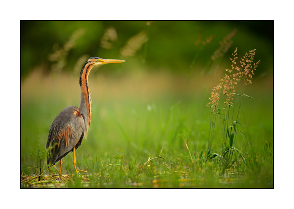 Purple Heron III