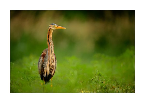 Purple Heron IV