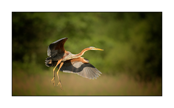 Purple Heron V