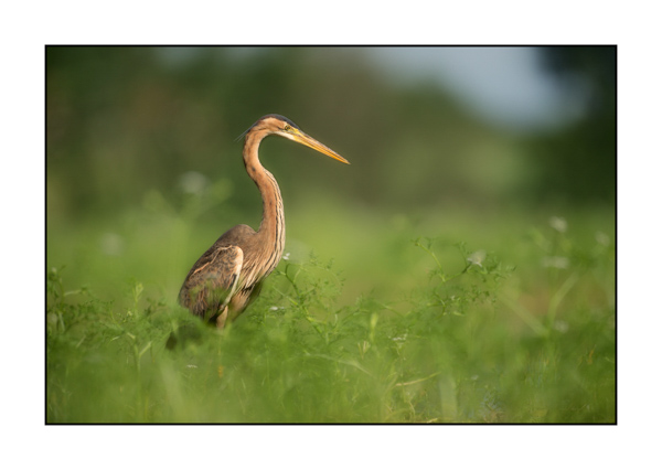 Purple Heron VII