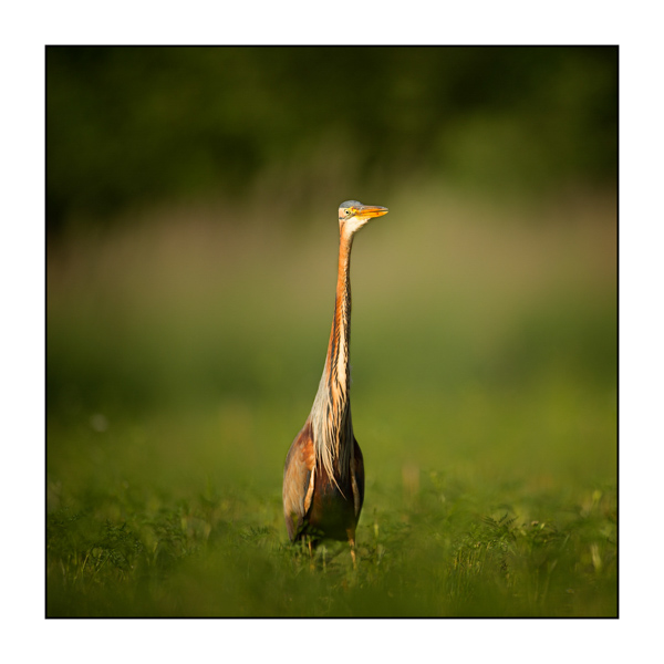 Purple Heron X