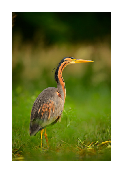 Purple Heron XI