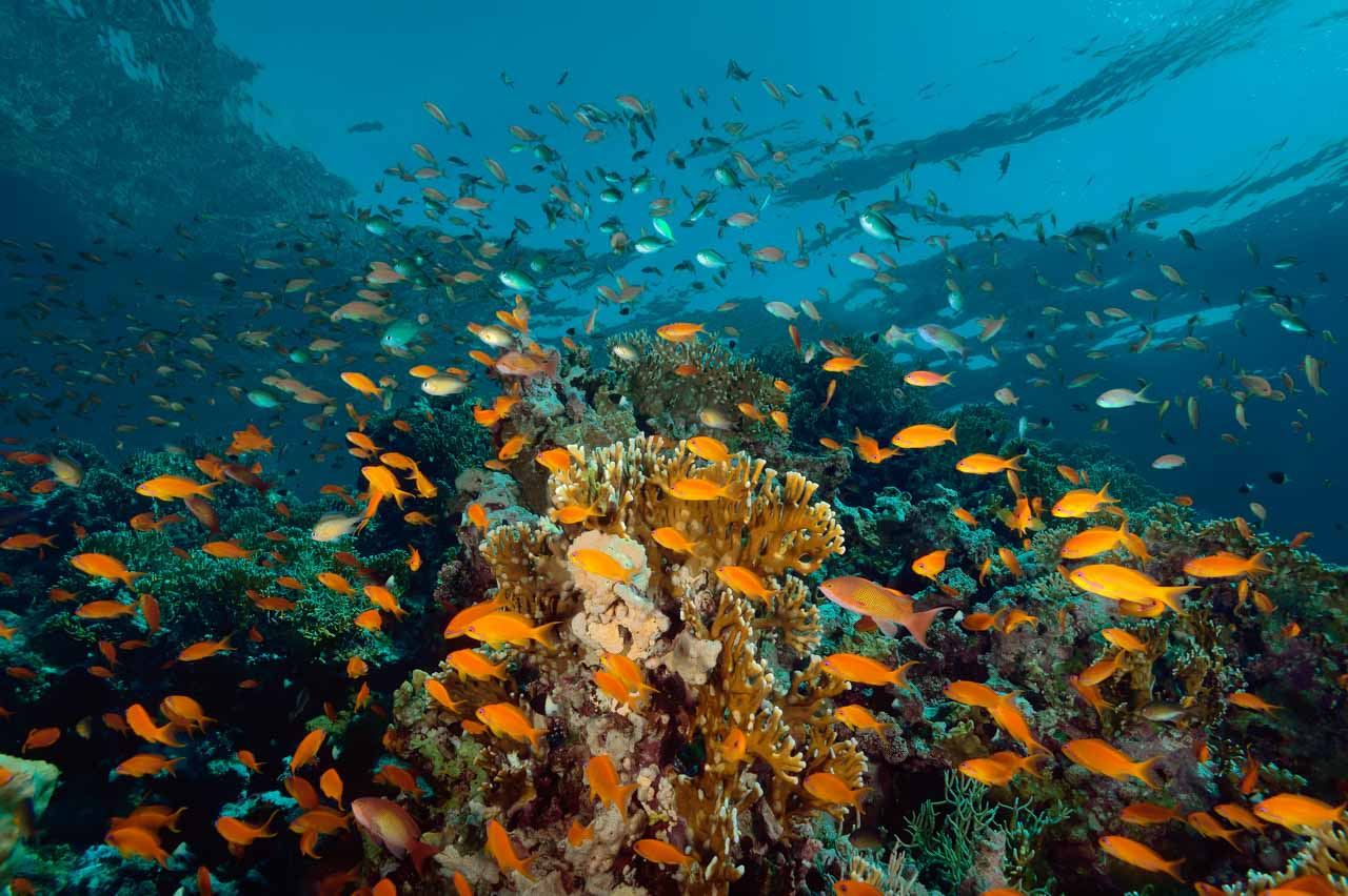 Coral reef covered with anthias in the Red Sea. Photograph by Amar Guillen, photographer artist..