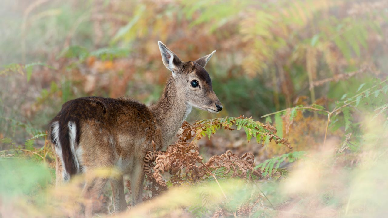 Look of a fallow deer fawn in color. Photograph by Amar Guillen, photographer artist.