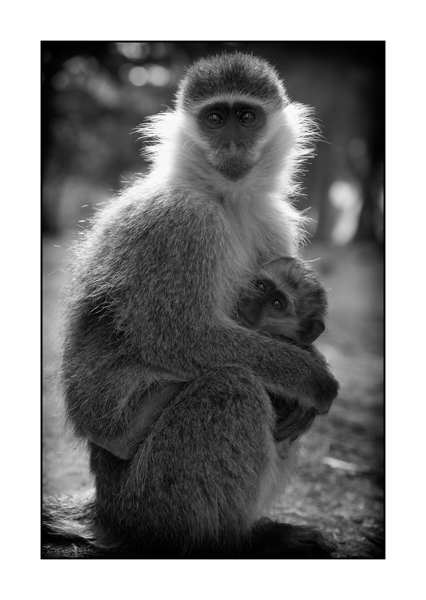 Collection de photographies d'art Le Vervet Monkey d'Ethiopie.